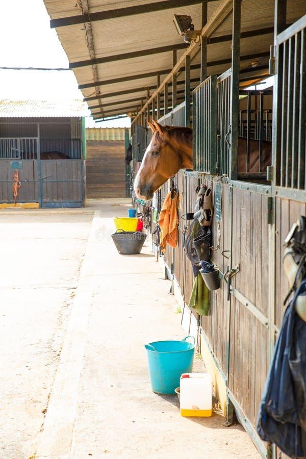黏附他的头的布朗马在槽枥外面 库存照片