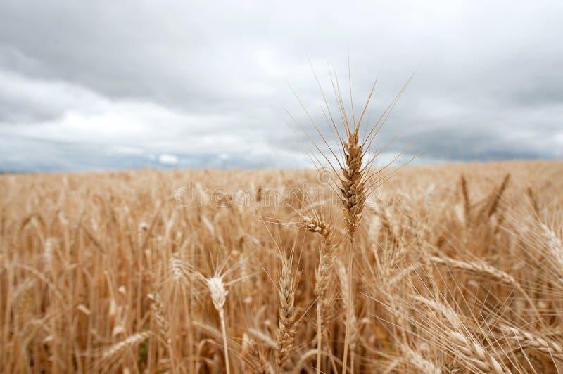 黏附在wheatfield外面的麦子唯一茎 库存图片