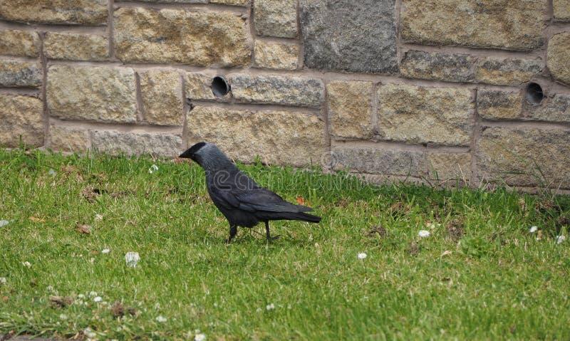 黑乌鸦鸟动物 免版税库存图片