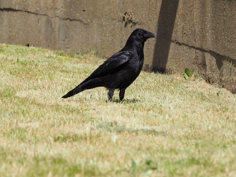 黑乌鸦鸟 图库摄影