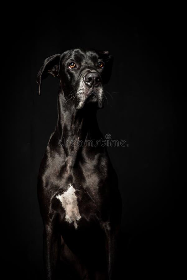黑人丹麦种大狗在黑背景中 库存照片