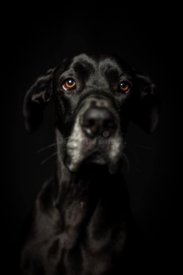 黑人丹麦种大狗在黑背景中 库存图片