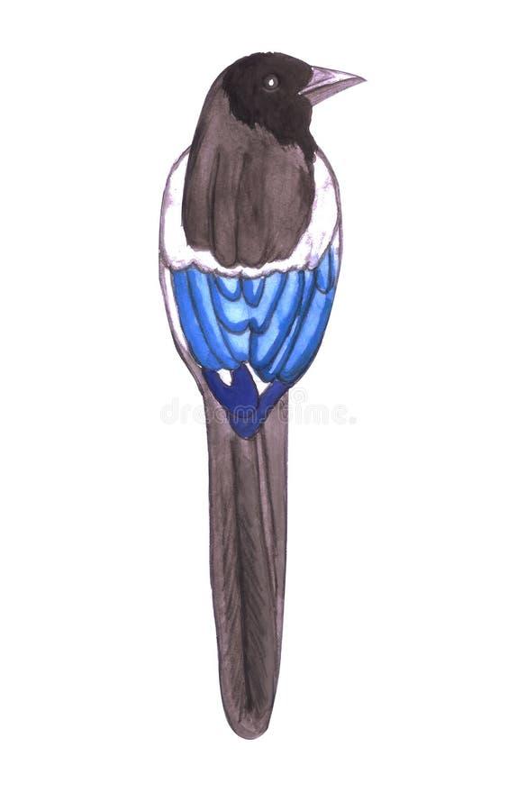 黑人开帐单的鹊或美国鹊也告诉了Pica Caudata被隔绝 皇族释放例证