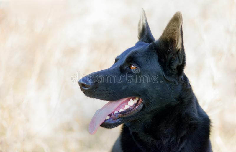 黑人德国牧羊犬-机敏的外形画象 免版税库存图片