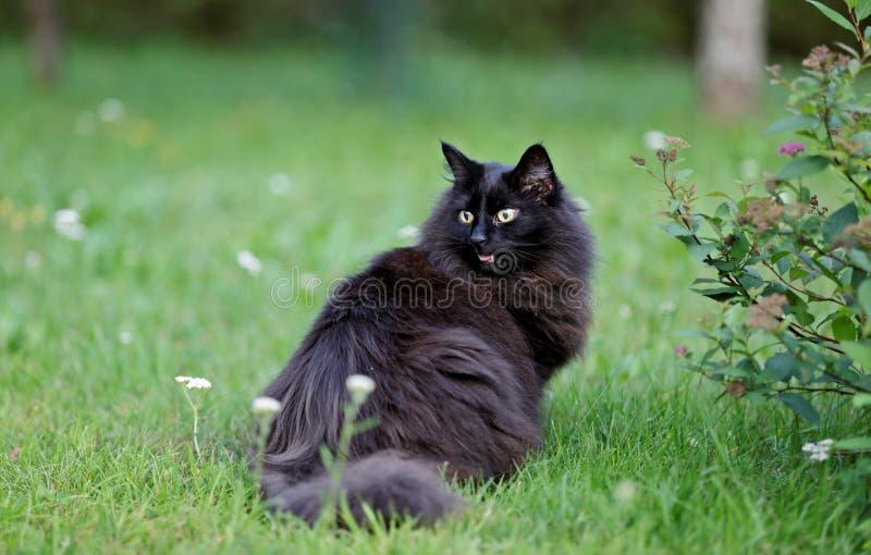 黑人挪威森林猫女性在有开放的嘴的庭院里 免版税库存图片