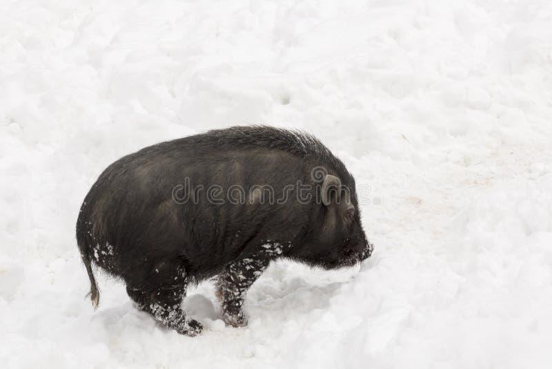 黑人猪越南语 库存照片