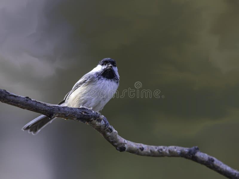 黑冠鸡栖息在树枝上 库存图片