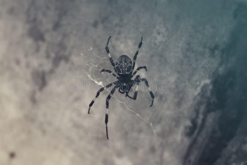 黑凉快蜘蛛沈默的逗留 库存照片