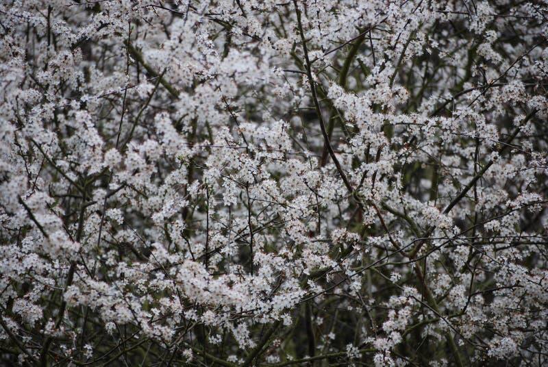 黑刺李在春天 库存图片