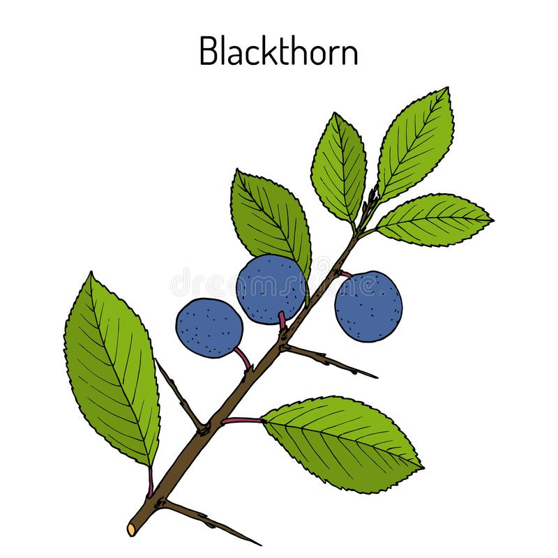 黑刺李李属spinosa或者黑刺李,可食和药用植物 向量例证