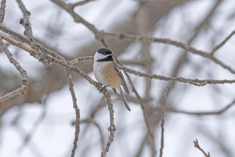 黑加盖的山雀在冬天森林里 免版税库存图片