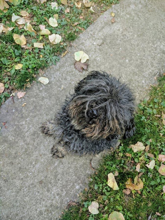 黑匈牙利puli狗坐道路在落叶之间的庭院里 库存照片