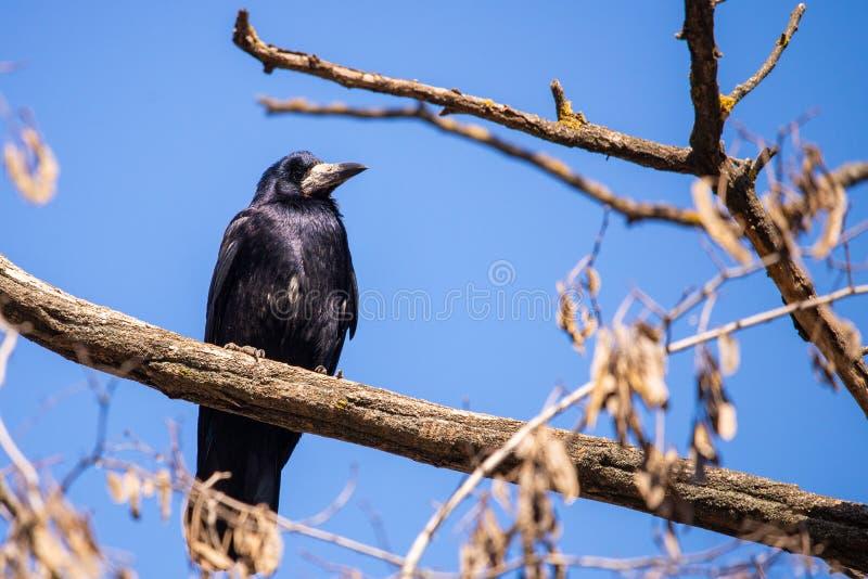 黑吃腐肉的乌鸦或乌鸦座corone鸟在城市 免版税库存图片