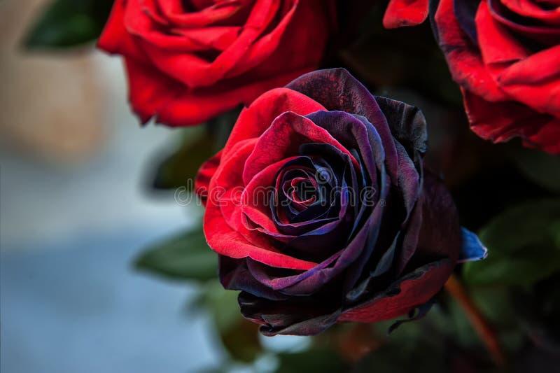 黑和红色现代品种精华玫瑰在花束的作为礼物 背景 关闭 选择聚焦 库存图片
