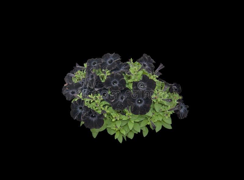 黑喇叭花花 库存照片