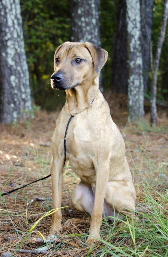 黑嘴杂种狗Vizsla猎犬混合了品种狗 免版税库存照片