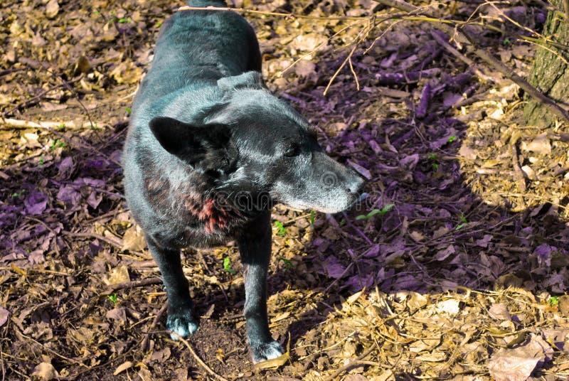黑在干燥叶子模糊的软的背景的杂种狗滑稽的狗  免版税库存图片
