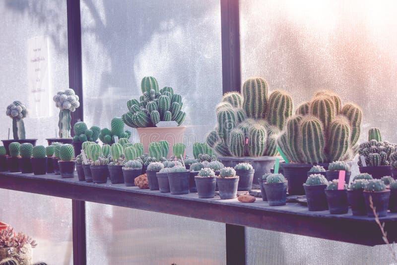 黑塑料花盆的各种各样的小仙人掌植物有在温室的阳光背景葡萄酒样式的 库存图片