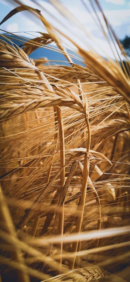 黑塞哥维那的金子,在金领域的麦子 免版税库存图片