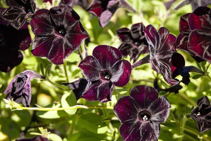 黑天鹅绒喇叭花叫Petunia x杂种 免版税库存图片