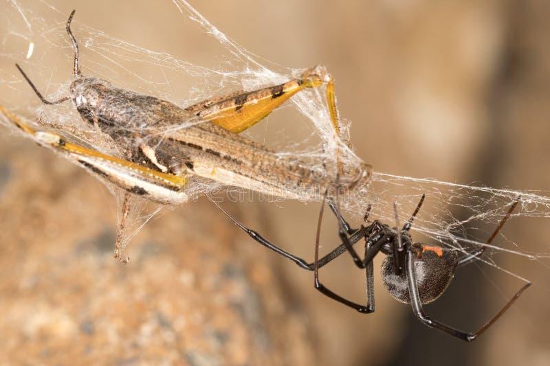 黑寡妇蜘蛛和抓住 黑寡妇是在他们的腹部的色的,滴漏型标记确定的臭名远扬的蜘蛛 库存照片