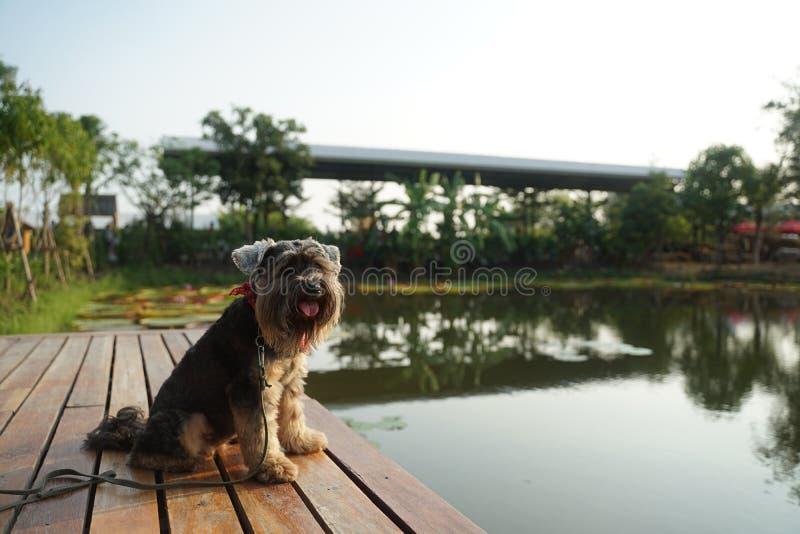 黑小混杂的品种狗坐木材甲板 库存照片