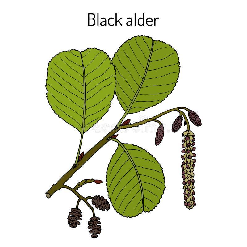 黑或欧洲桤木桤木属glutinosa,药用植物 向量例证
