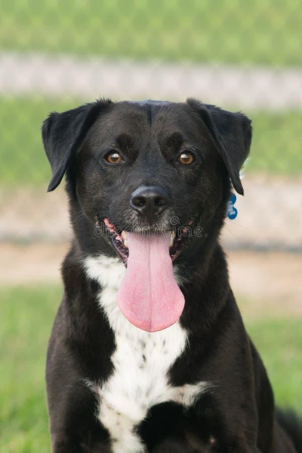 黑拉布拉多猎犬混合 免版税库存图片