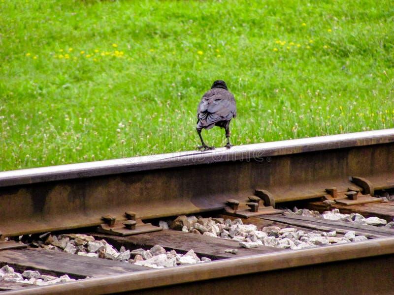 黑掠夺在铁路的路轨站立,反对夏天绿草 免版税库存照片