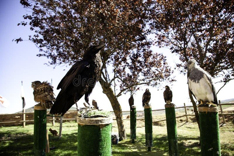 黑掠夺猎鹰训练术 免版税库存图片
