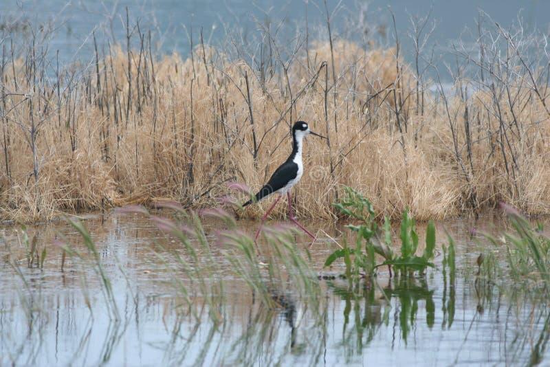 黑收缩的高跷Himantopus mexicanus 2 库存图片