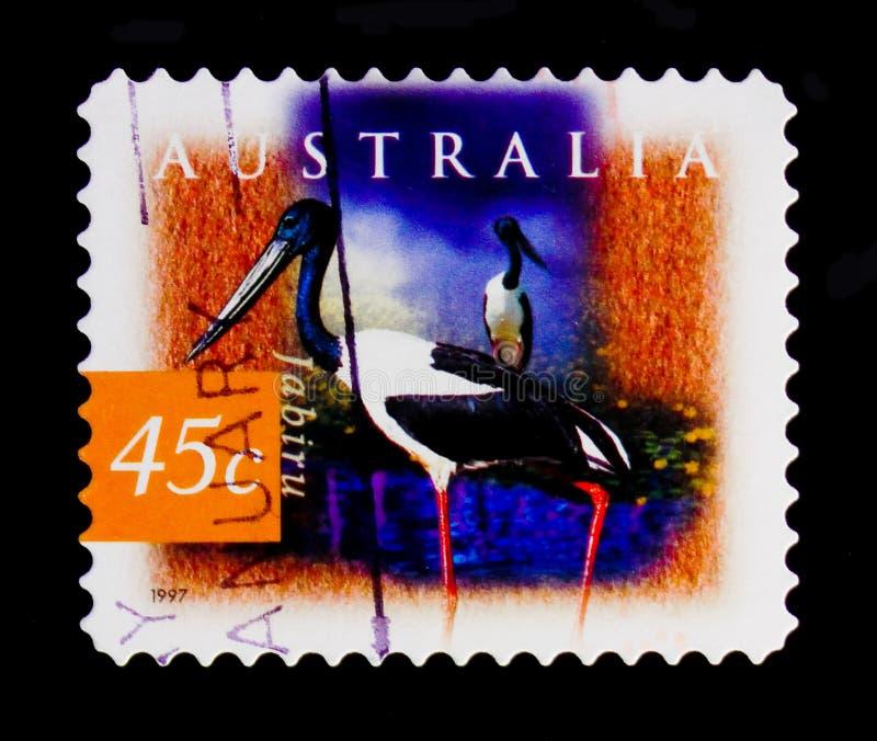 黑收缩的鹳- Jabiru凹嘴鹳asiaticus、植物群和动物区系serie,大约1997年 库存图片