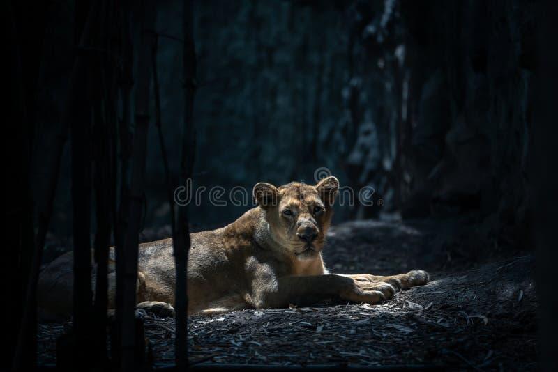 黑暗中的狮子对着相机 免版税库存照片