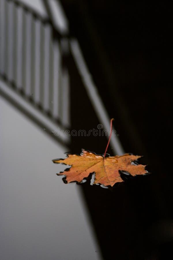 黑暗放置叶子水面 库存图片