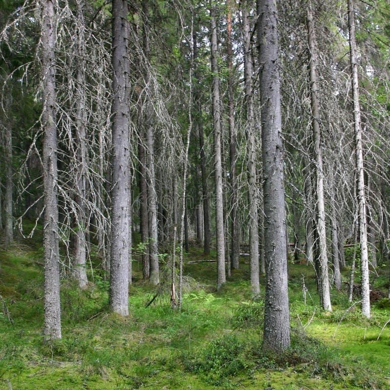 黑暗的云杉的森林在一个晴朗的夏日 库存图片