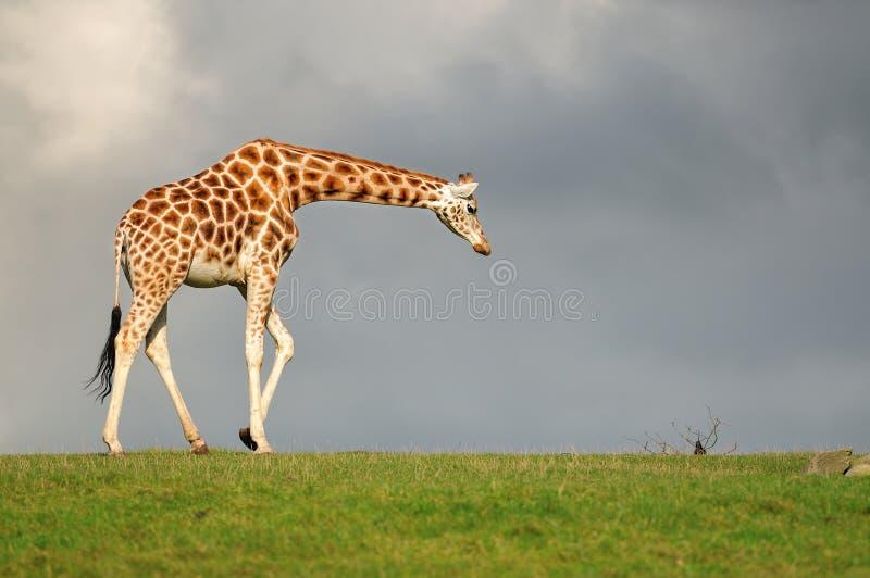 黑暗的天空的长颈鹿infront 库存图片
