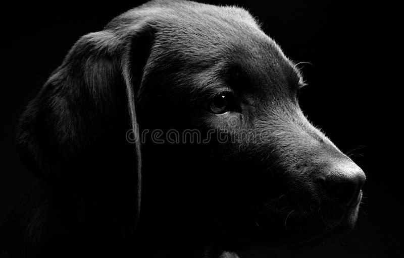 黑暗的拉布拉多轻的配置文件小狗 免版税库存图片