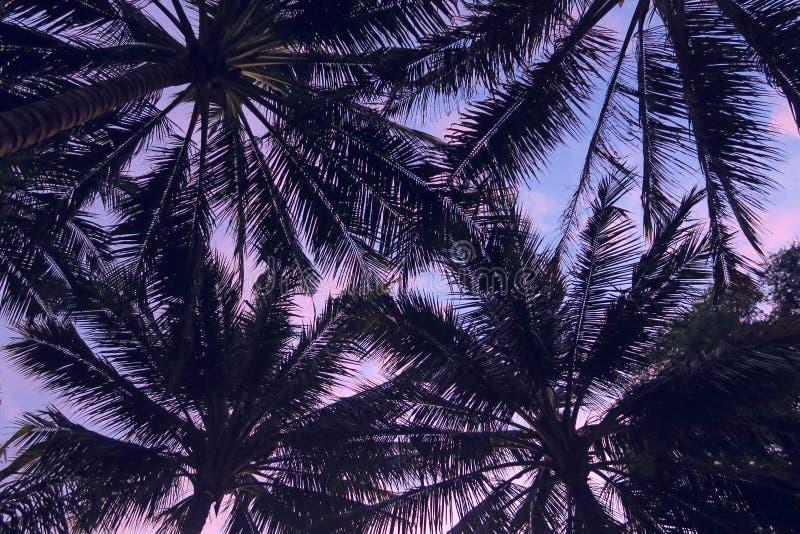 黑暗的棕榈树留下剪影在紫罗兰色和桃红色日落天空背景 免版税库存照片