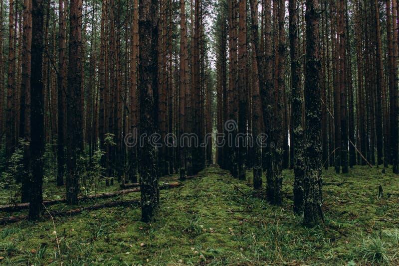 黑暗的森林全景风景有平直的树干和绿草的,给一种阴沉的感觉 厚实,不祥 免版税图库摄影