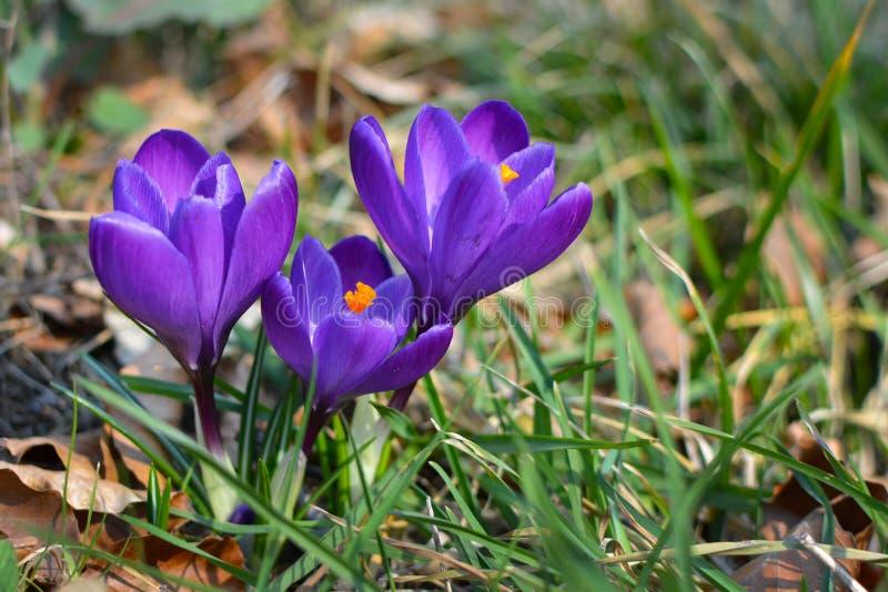 黑暗的紫色在模糊的草背景的番红花开花的花 免版税库存照片