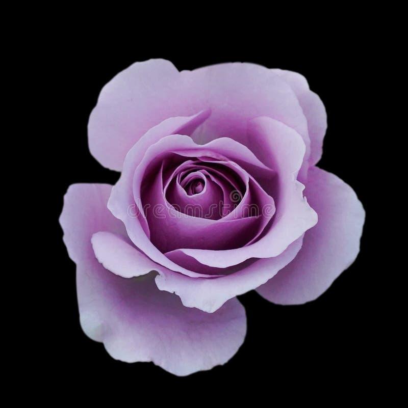 黑暗的紫色玫瑰背景,在黑背景隔绝的紫色玫瑰,与的贺卡豪华玫瑰,图象黑暗口气 免版税图库摄影
