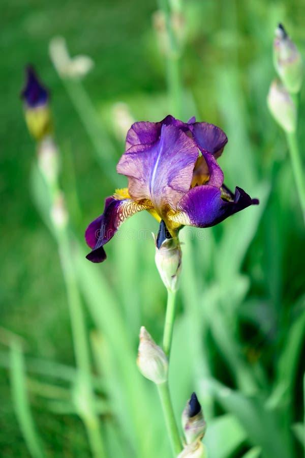 黑暗的虹膜的宏观照片 一朵美丽的夏天花 在迷离的背景 免版税库存图片