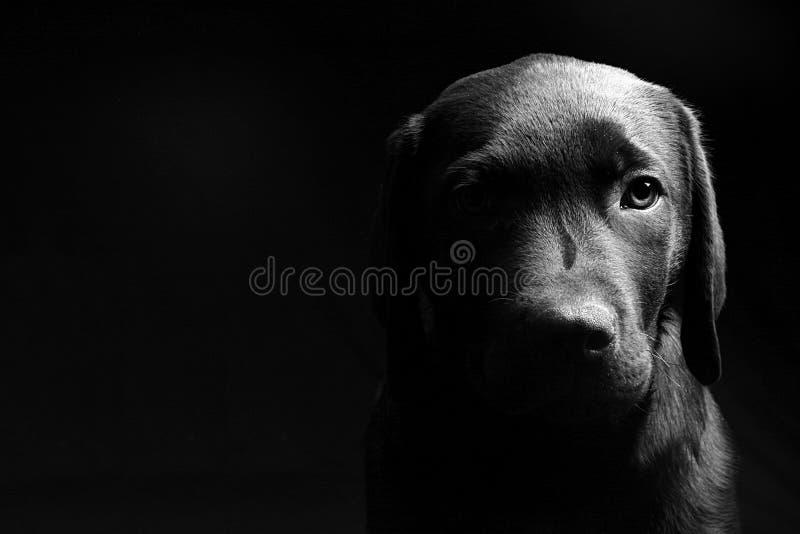 黑暗的顶头拉布拉多轻的小狗 免版税库存图片
