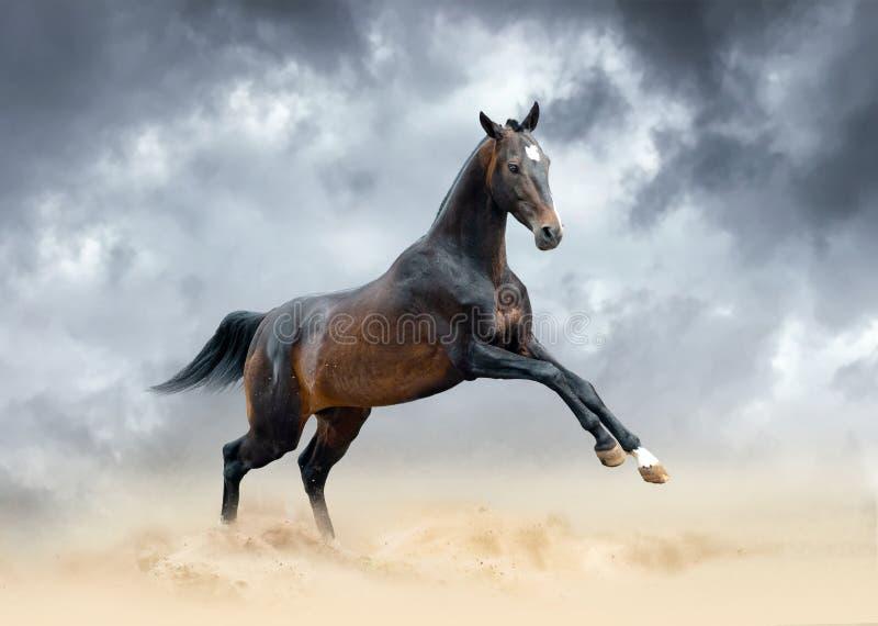 黑暗的鹿皮阿哈尔teke公马在沙漠任意跑 免版税库存图片