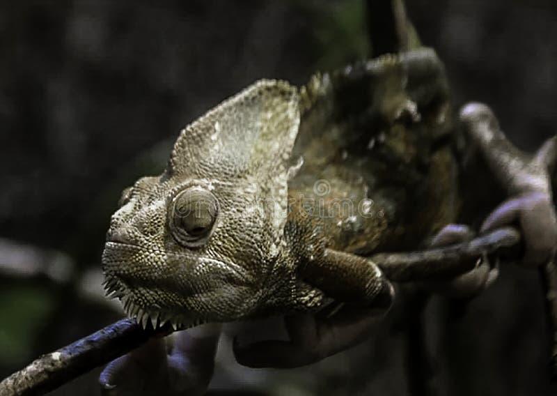 黑暗蜥蜴lounging 库存照片