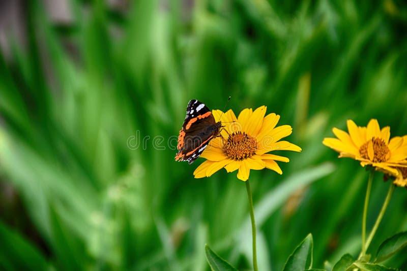 黑暗黄色花卉生长在一个绿色草甸和蝴蝶o 库存图片