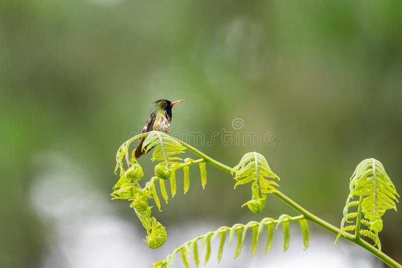 黑有顶饰蜂鸟(;Lophornis helenae);蜂鸟在哥斯达黎加 图库摄影