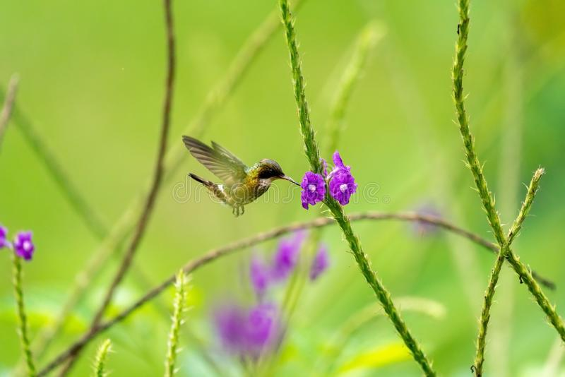 黑有顶饰蜂鸟(;Lophornis helenae);蜂鸟在哥斯达黎加 免版税库存照片