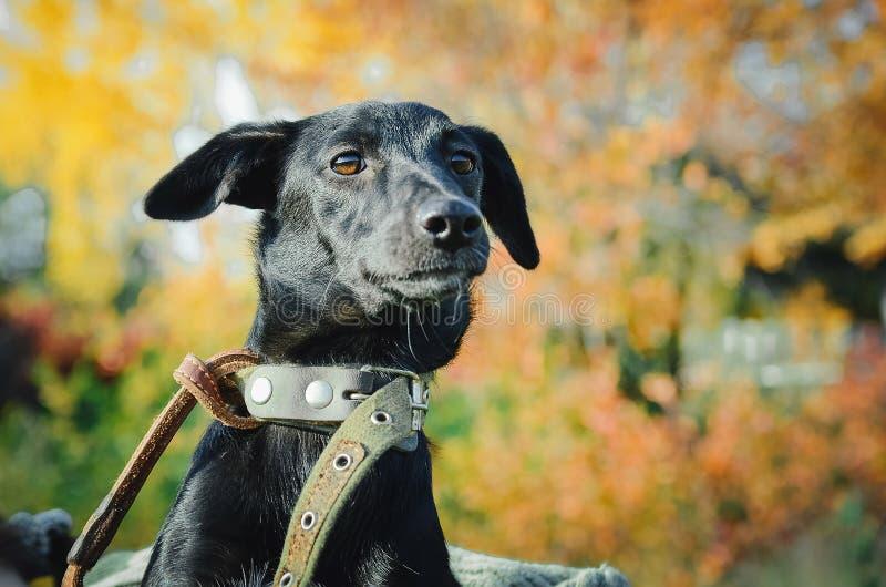黑杂种狗,特写镜头 免版税库存图片