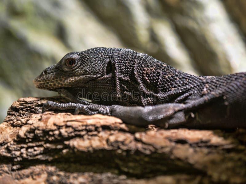 黑树显示器,巨晰属beccarii,是一只苗条树蜥蜴 免版税库存照片
